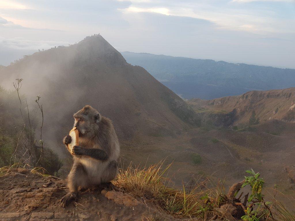 Makaki na śniadaniu na wulkanie Batur.